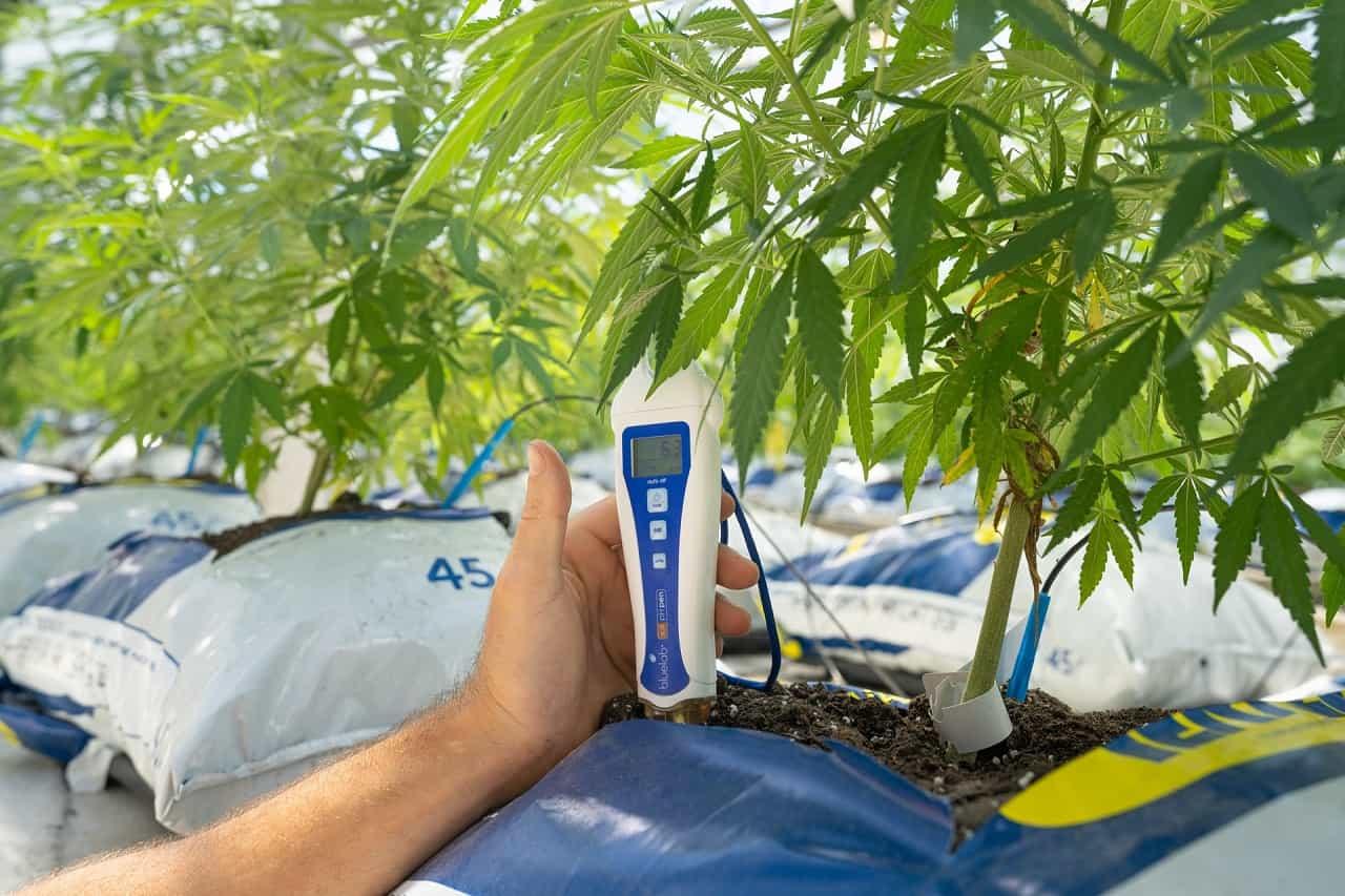 person checking cannabis plant temperature in a farm